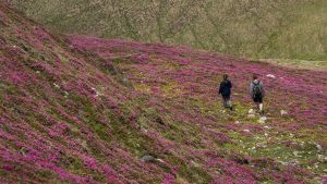 Wildflowers in high alpine meadows - Hiking tour of Romania