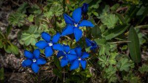Alpine gentian - Gentiana nivalis