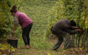 Fall in Romania - harvesting grapes