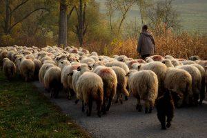 Fall in Romania - returning shepherds