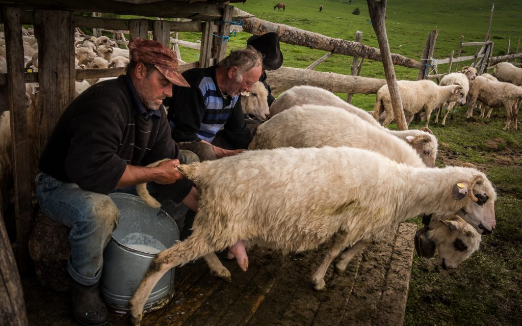 Milking the sheep