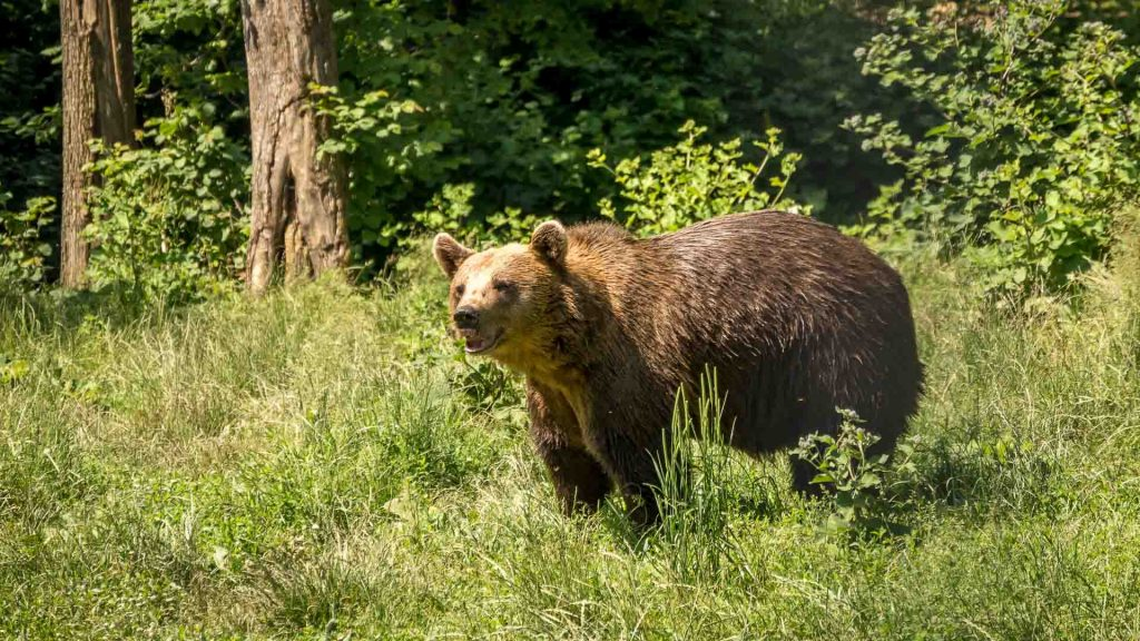 Zarnesti - Libearty Bear Sanctuary