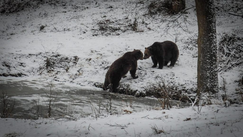 Winter in Romania - Brown bears