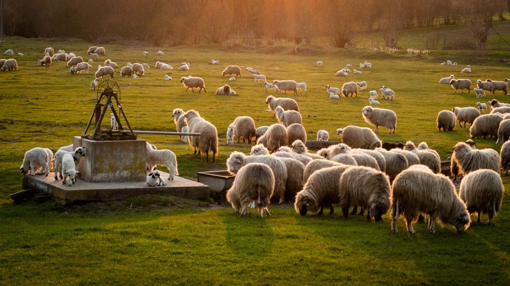 The sun illuminating flocks of sheep