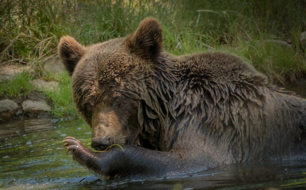 Bear in Zarnesti