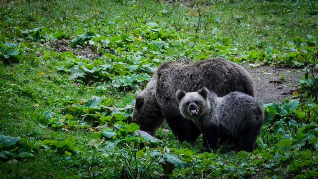 A cub bear and his mom