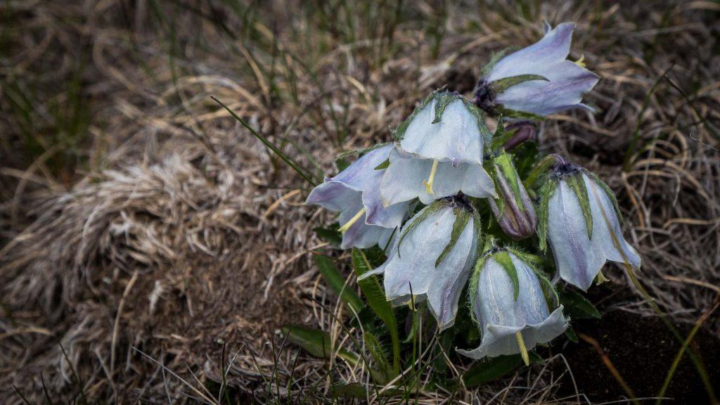 Alpine bellflower