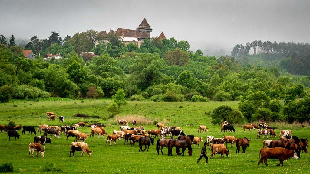 On the pastures around Viscri village