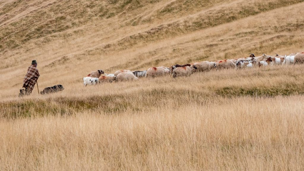 Shepherd in the fields
